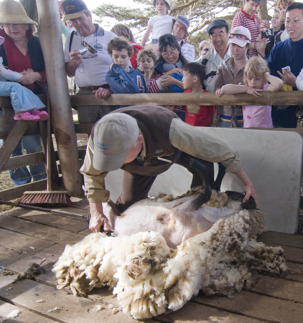 Churchill island sheep shearing