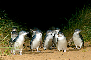 Phillip Island's Penguins