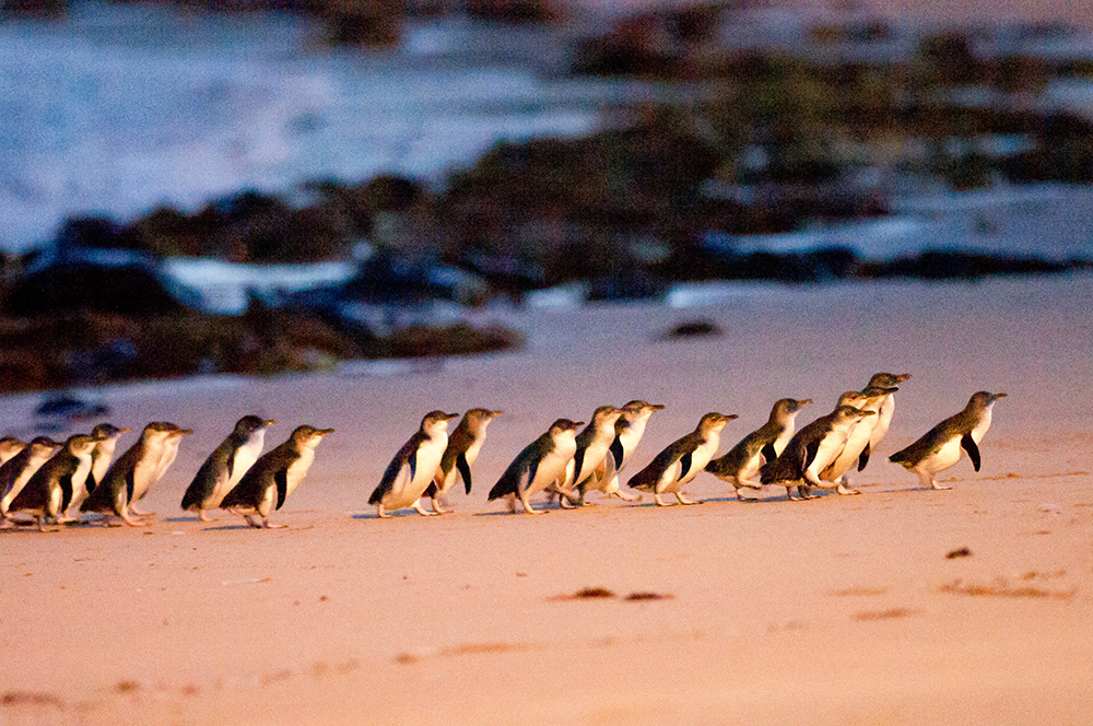 Penguins storming up the beach