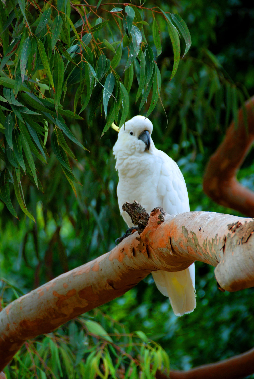 Australian Cockatoo