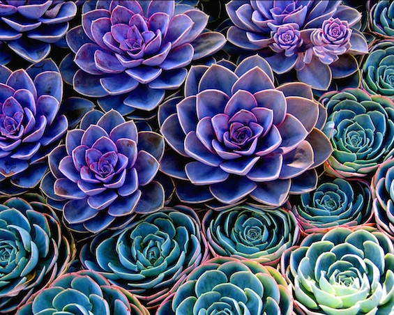 insanely beautiful succulents