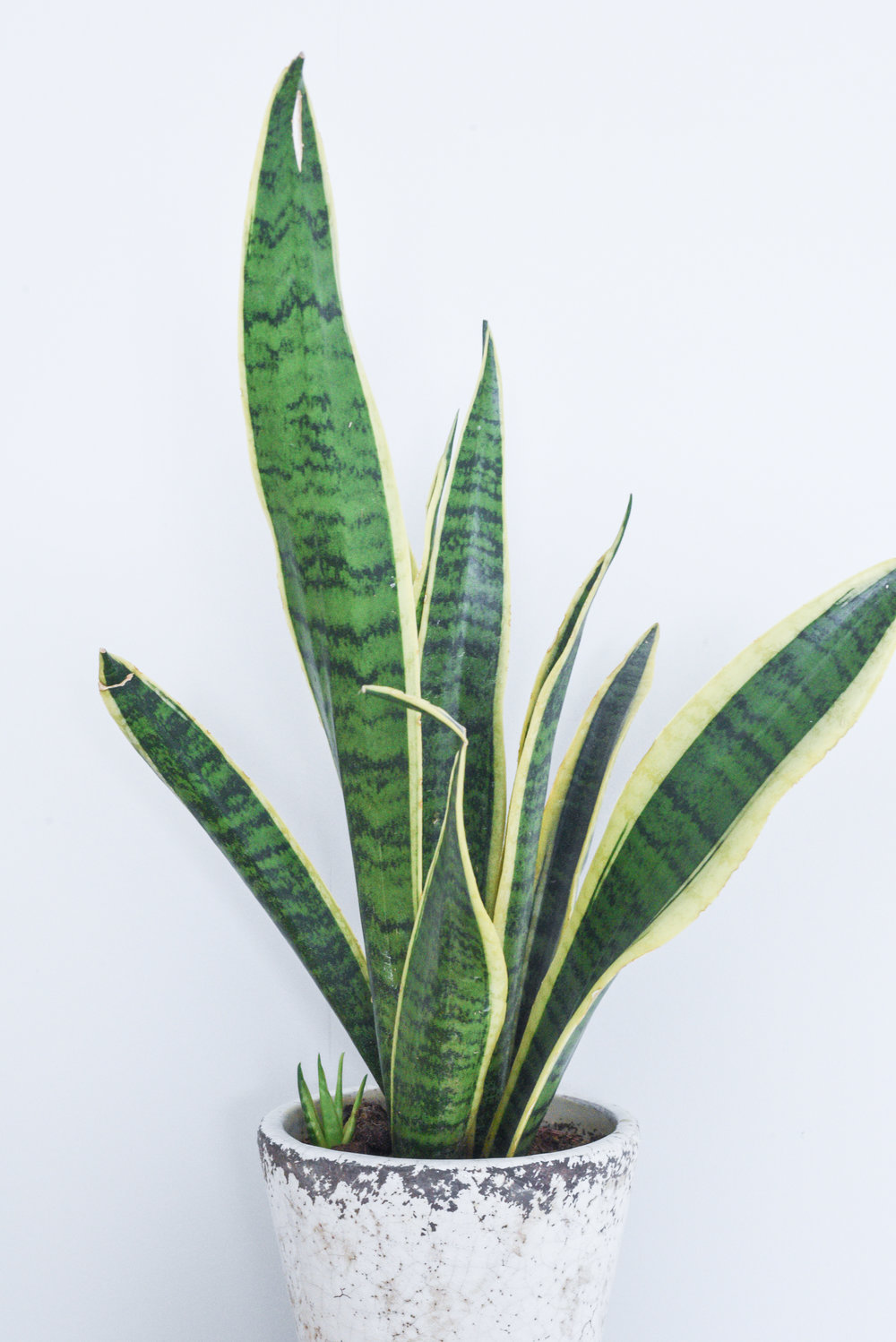 Mother-in-laws tongue - {Sansevieria trifasciata