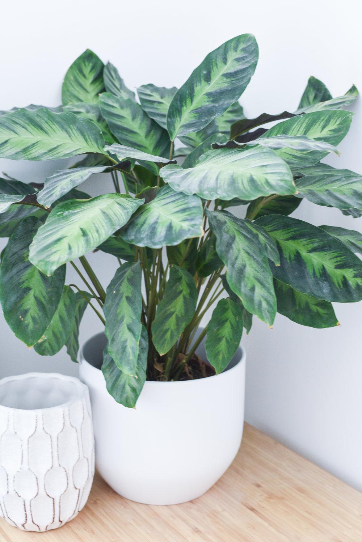 Zebra plant - {Calathea}