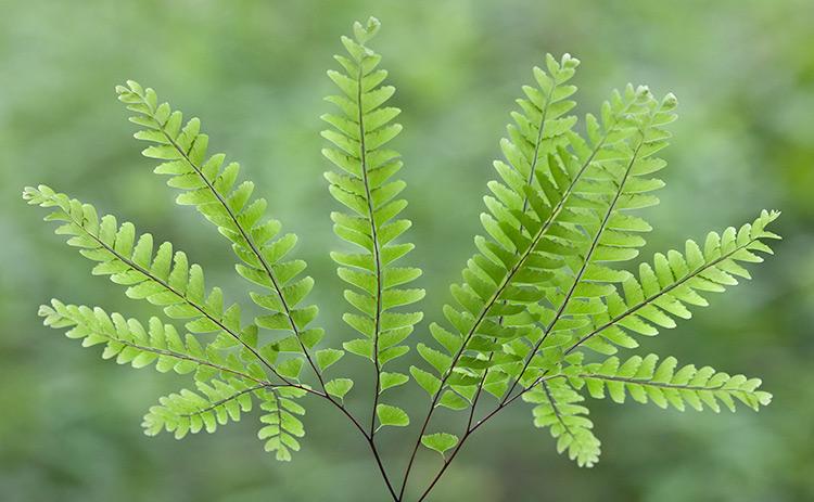 five finger maidenhair fern adiantum aleuticum fancy fronds nursery