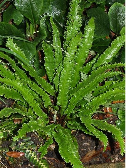 Narrow Harts Tongue Fern Asplenium scolopendrium Marginatum