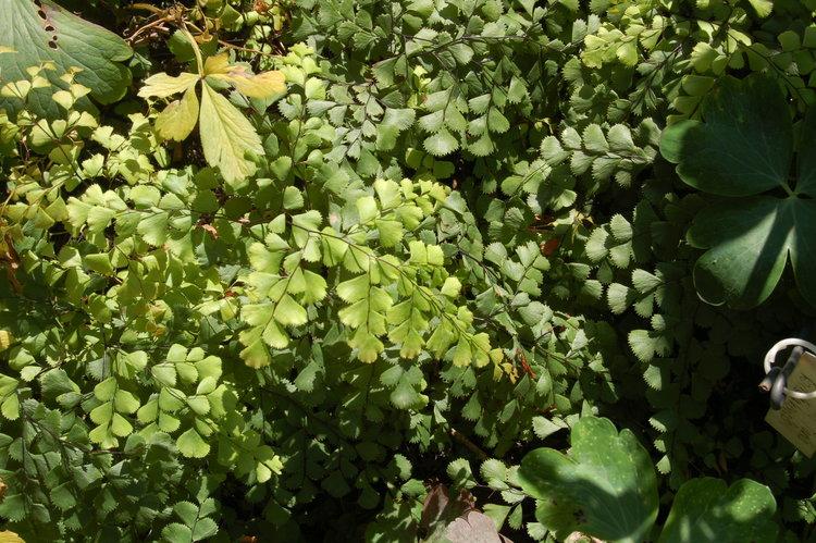 himalayan or evergreen maidenhair adiantum venustum fancy fronds