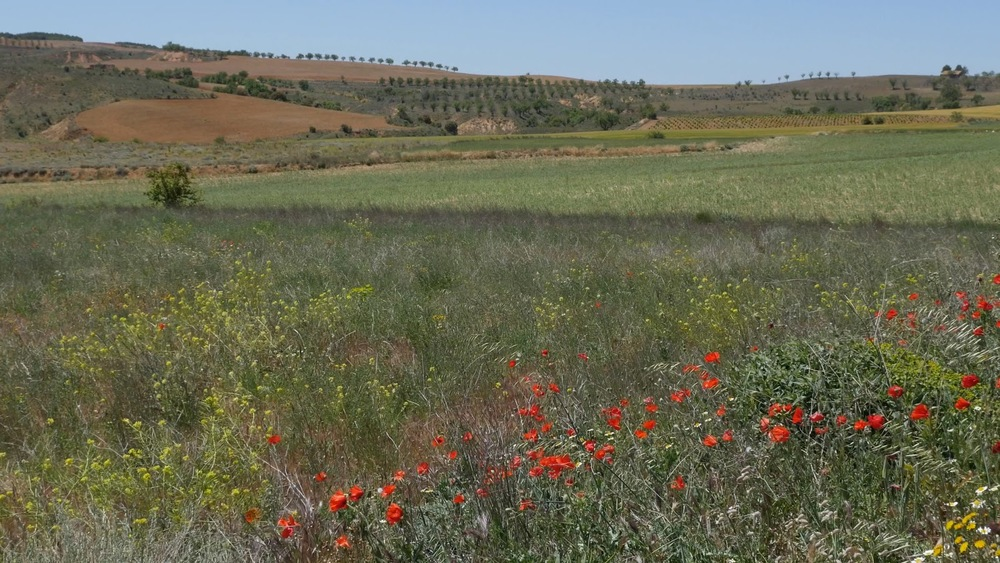 Spain Meseta Poppies, Wheat, And Fields◹