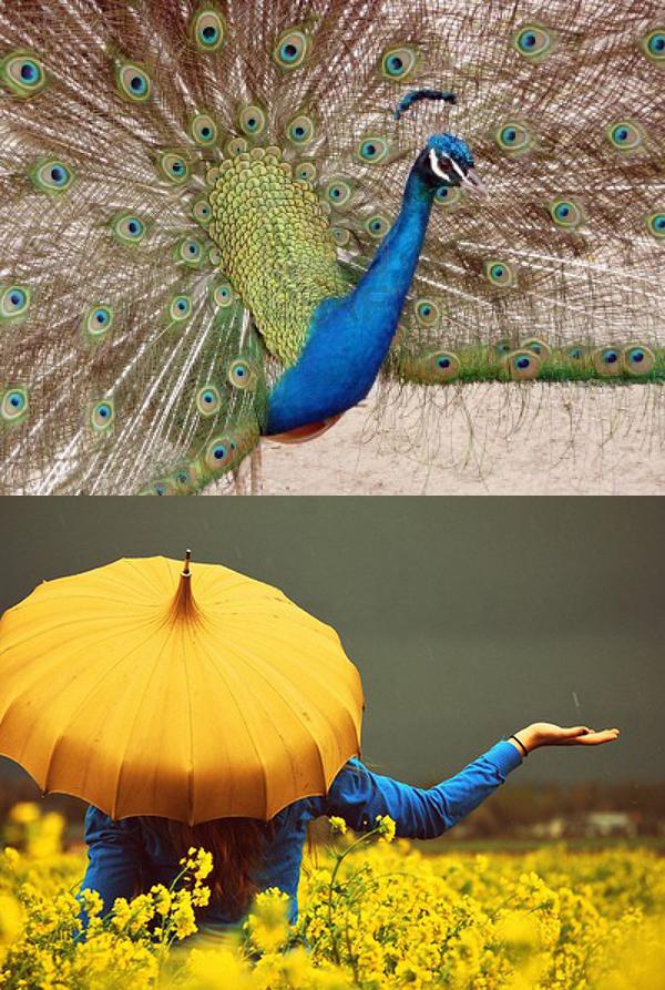 peacock-umbrella
