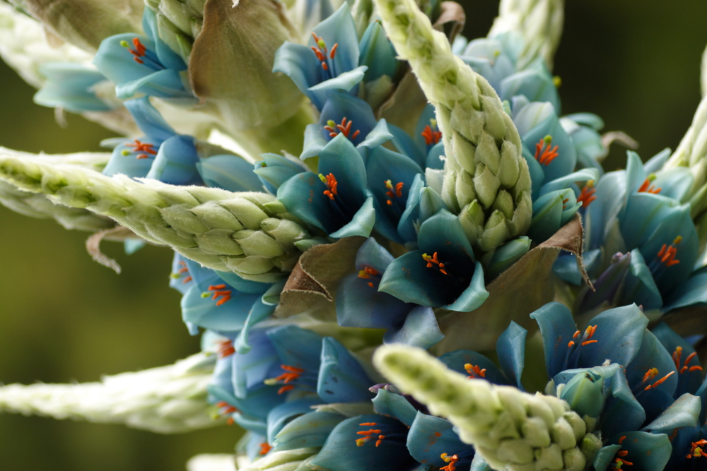 Puya  . Photo by Van Swearingen.