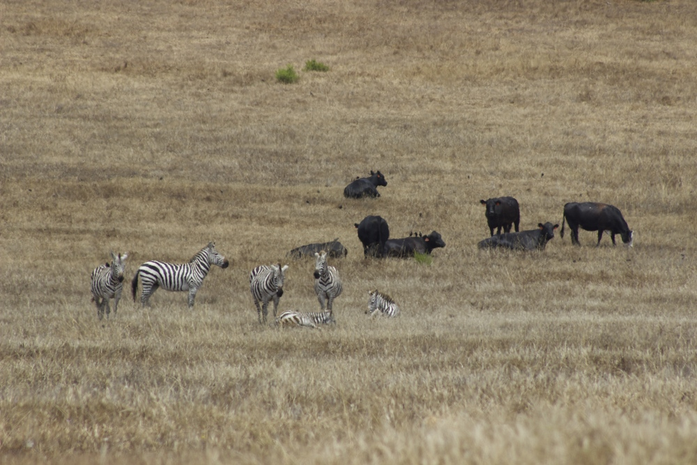 Zebras and Cows on Hearst Ranch