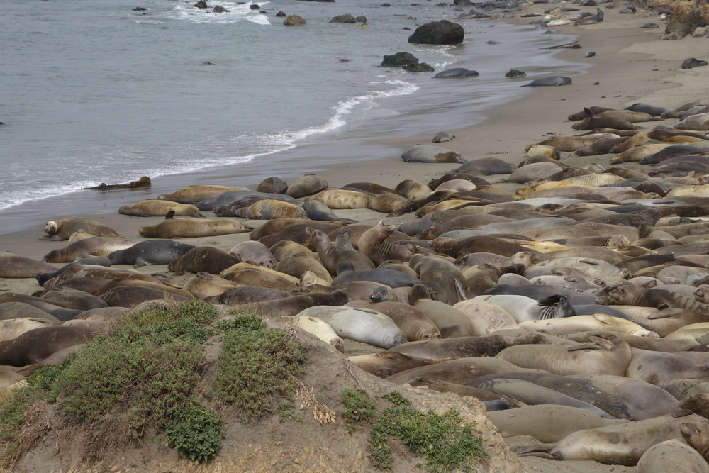 Elephant Seal Overlook