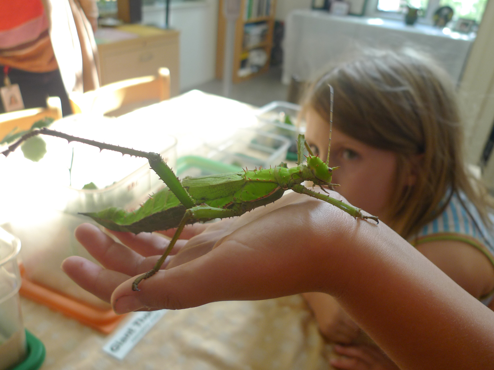 Giant Thorny Phasmid
