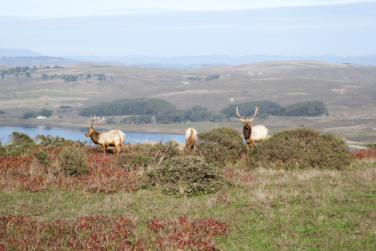 TULE ELK AT TOMALES POINT, CA