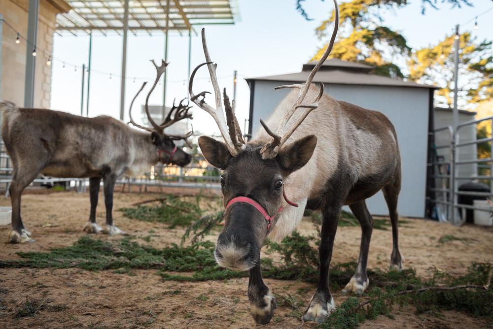 reindeer pair_Kathryn Whitney_CAS.jpg