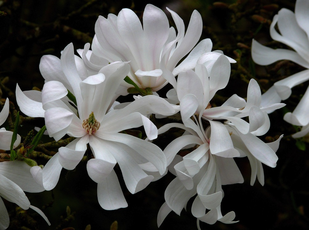 Magnolia stellata 'Waterlily'. James-Gaither
