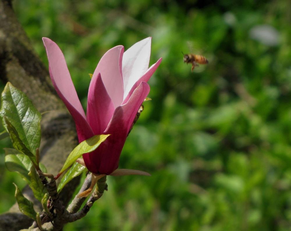 Magnolia liliiflora. Judy Harter