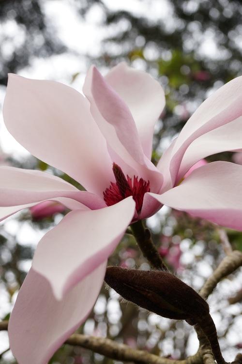 San Francisco Botanical Gardens Magnificent Magnolia Bloom