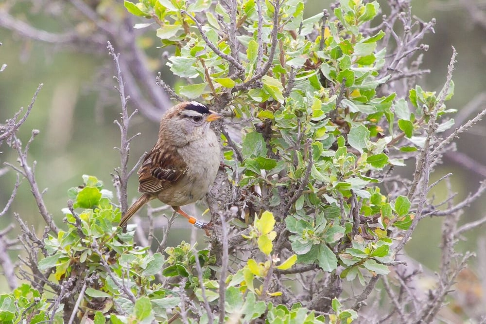 A banded White-crowned Sparrow perched on Coyote Brush at Point Blue's Palomarin Field Station. credit: Annie Schmidt/Point Blue