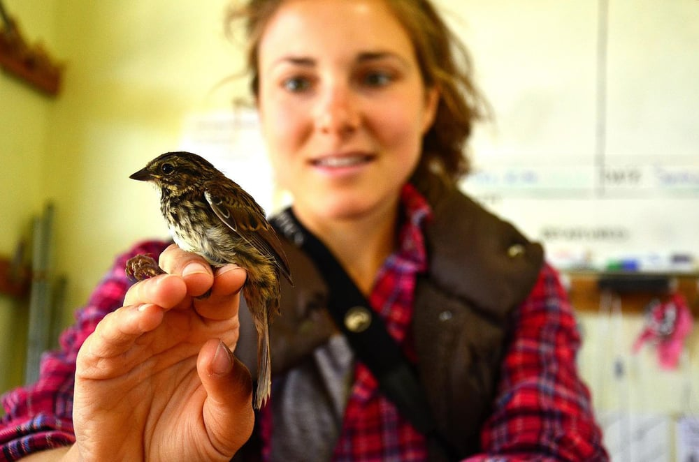 A young Song Sparrow held by a biologist-in-training at Point Blue's Palomarin Field Station. credit: Kim Kayano/Point Blue