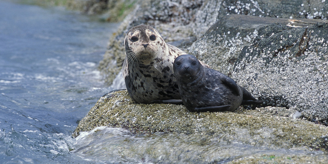 Spotted seal pup