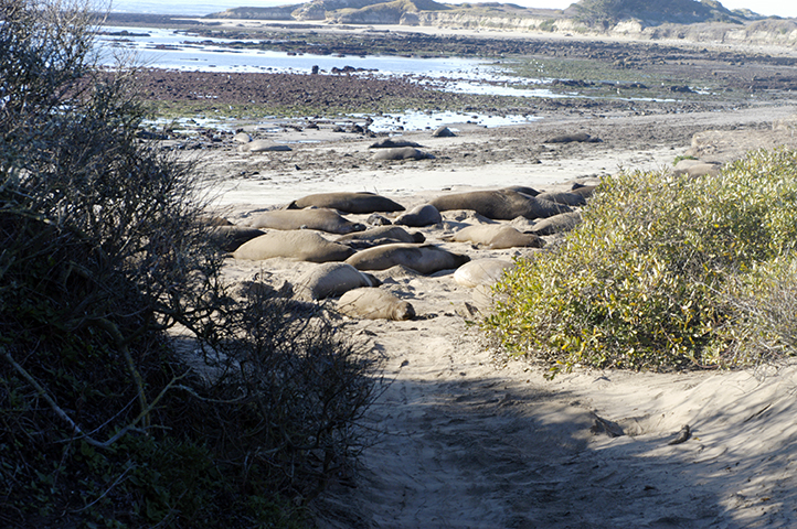 Elephant Seals at Año Nuevo State Park