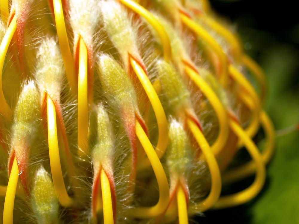 Leucospermum , 'Veldfire',Ernest McGray, Jr