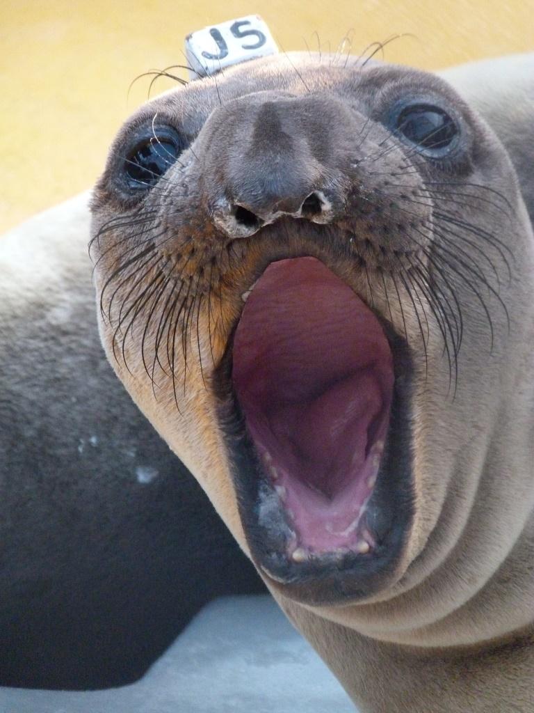 Elephant Seal- Epic Monte.JPG