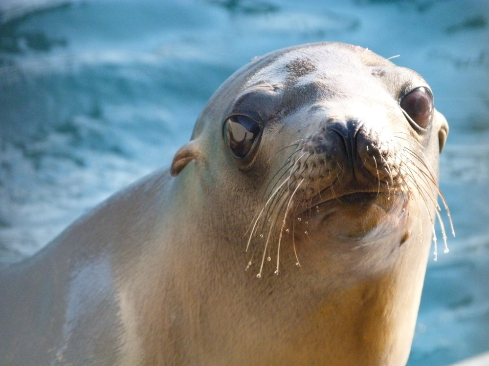 California Sea Lion- Gooney.JPG