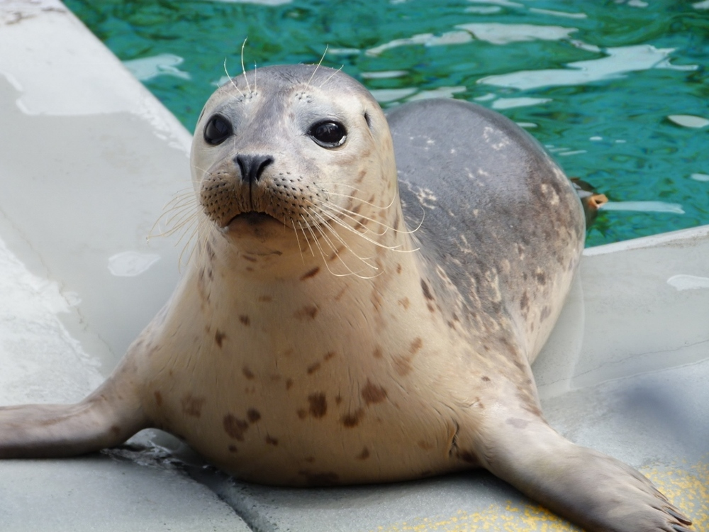 Harbor Seal- Creme (2).jpg
