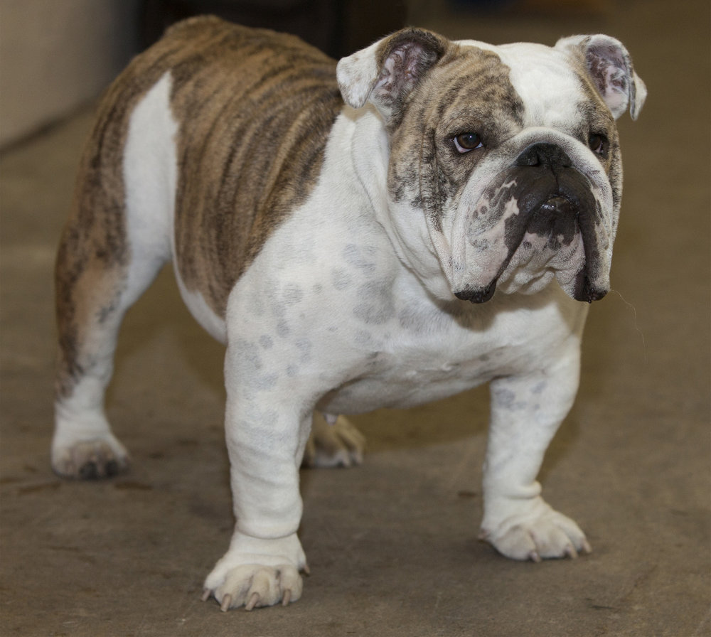bulldog one.jpg