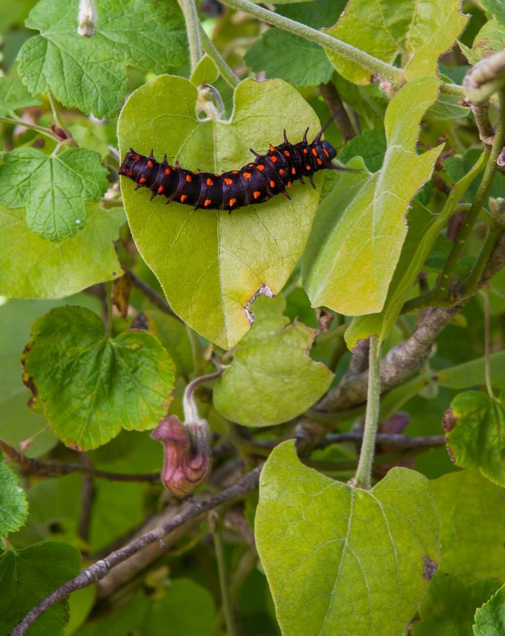 CA Native Garden   Pipevine with Pipevine Swallowtail Caterpillar   Saxon Holt