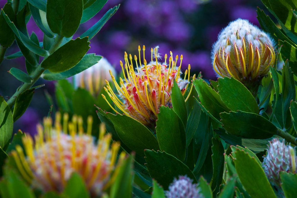 South Africa Garden   Pincushion Protea   Saxon Holt
