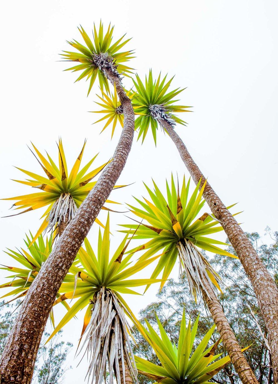 South Africa Garden   Yucca aloifolia   Saxon Holt