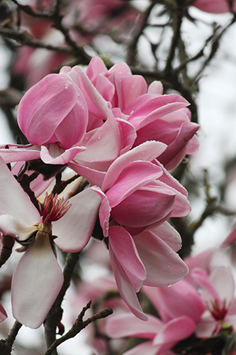 Magnolia campbellii  Travis Lange