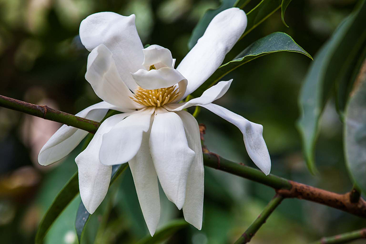 Magnolia doltsopa  Saxon Holt