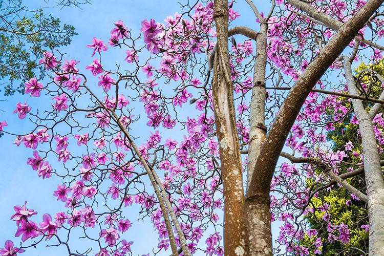 Magnolia sargentiana  Saxon Holt