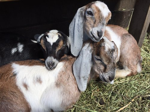 Spring+Fling+goatlets.JPG