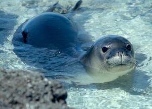hawaiian-monk-seal-1.jpg