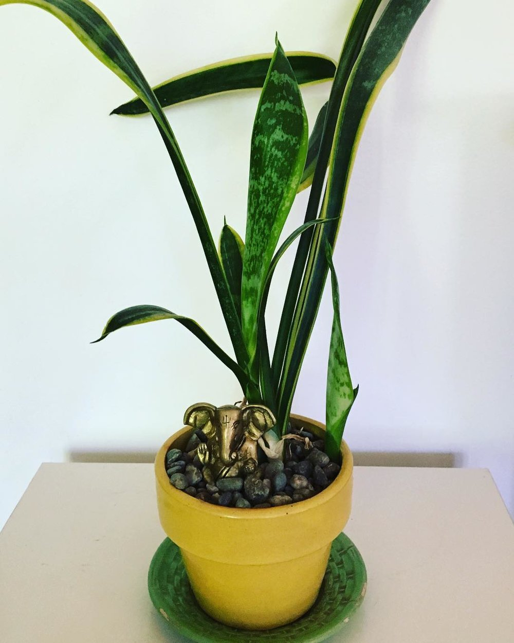 House Plants - Incorporate more houseplants into your work and living spaces to help clean the air of pollutants and chemicals plus boost your mood. The plant shown is sansevieria--it thrives on neglect, withstands low light and works at night absorbing carbon dioxide and releasing oxygen. Tip: add one to your bedroom. (Ganesh statue optional but recommended.) For more plant suggestions to help remove toxic VOC's from your breathing spaces, please visit my article at Sunset.com #littlethings #littleactsbigchange #savetheplanet #houseplants #cleantheair #itstartswithyou #howyoucanhelp #indoorplants #sansevieria #ganesha 🌱