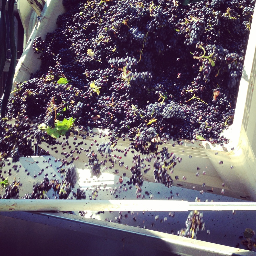 Pinot Noir being tossed into the destemmer