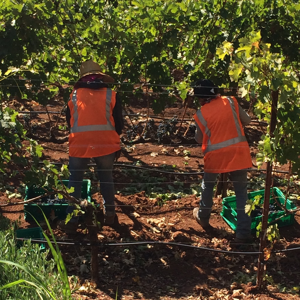 Afternoon vineyard pick