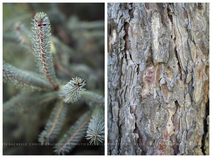 Pine-tree-alimagnet-park