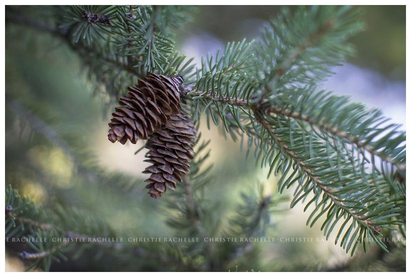 Pine-tree-cone-alimagnet-park