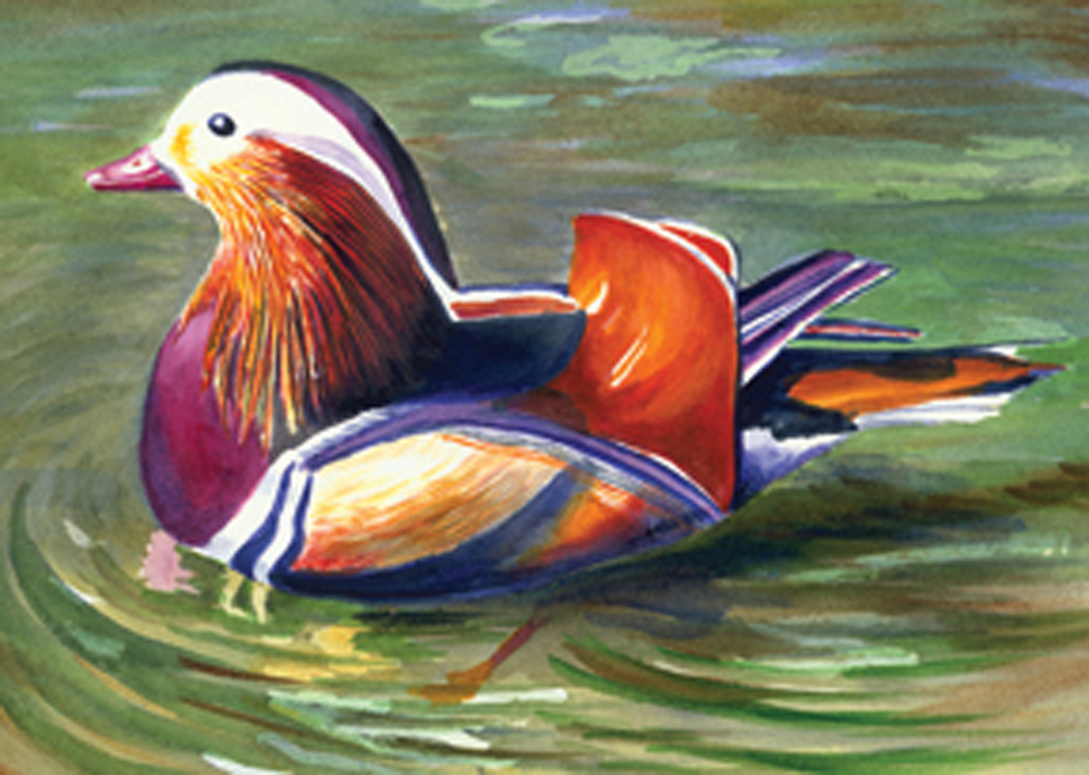 Mandarin Duck 72.jpg