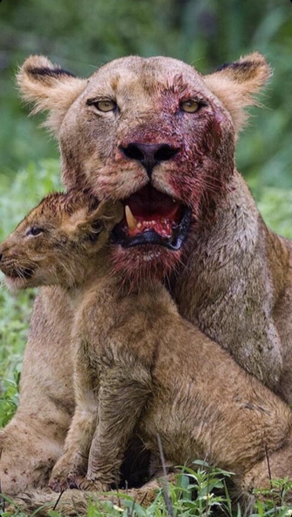 mother lion.jpg