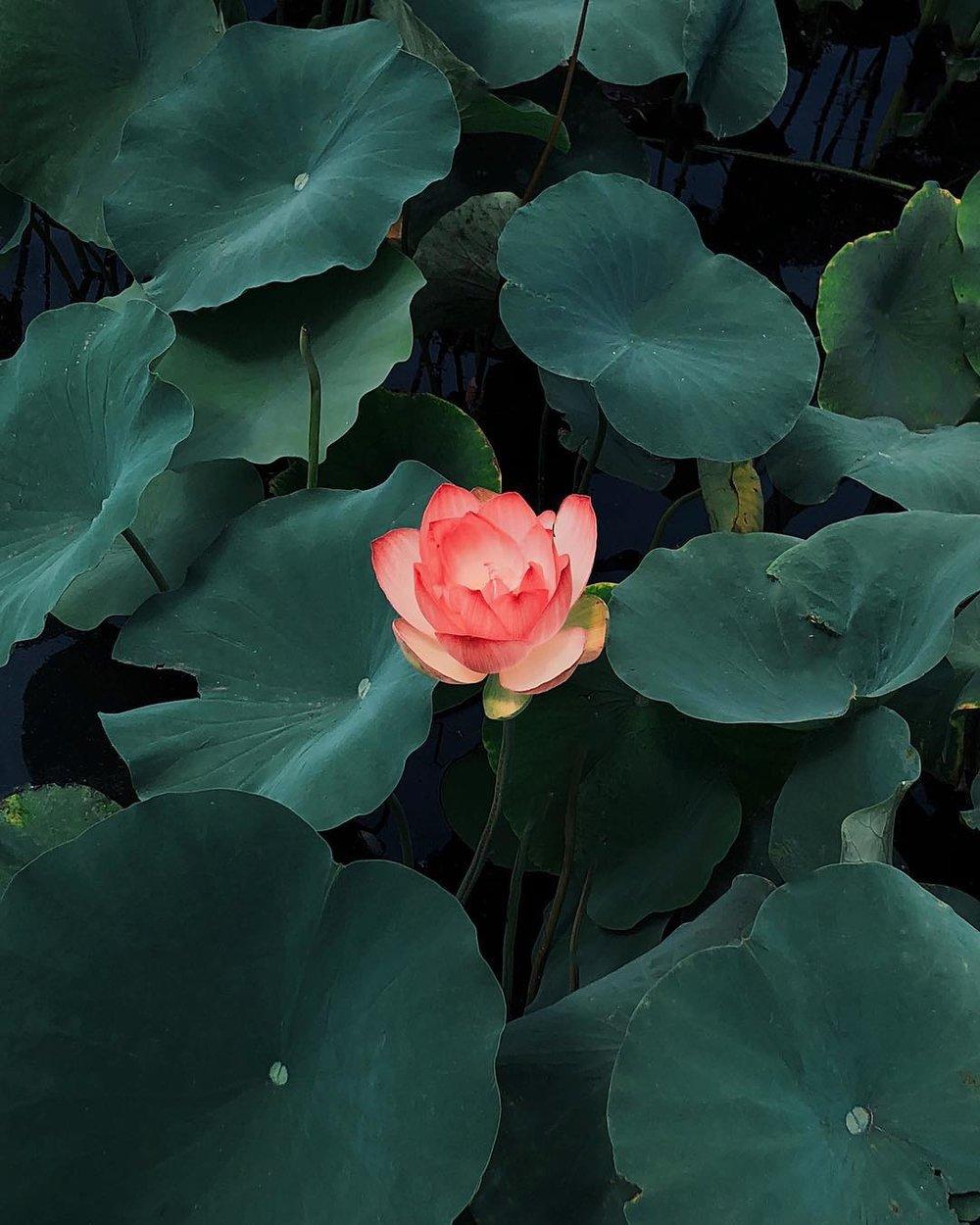 Pia-Riverola-lotus.jpg