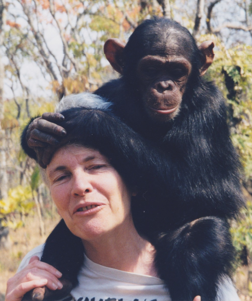 With the chimpanzee Junior in Zambia