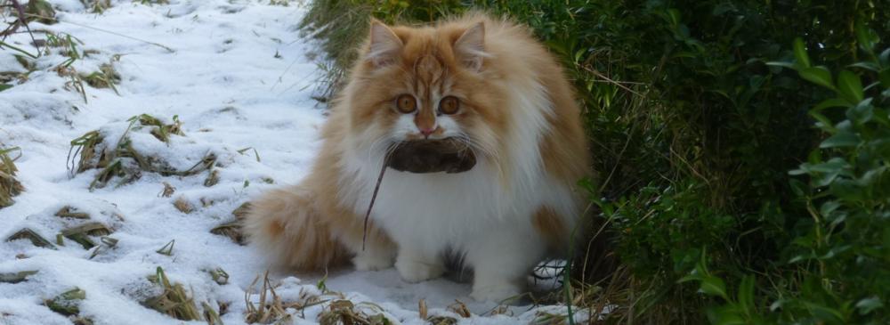 klassisk perser minella kattemad