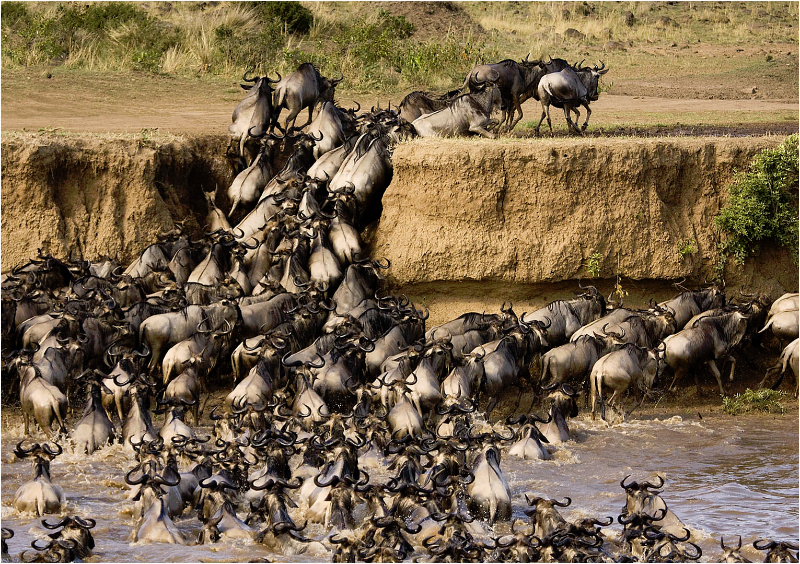 Wildebeest crossing the Masai Mara, Kenya
