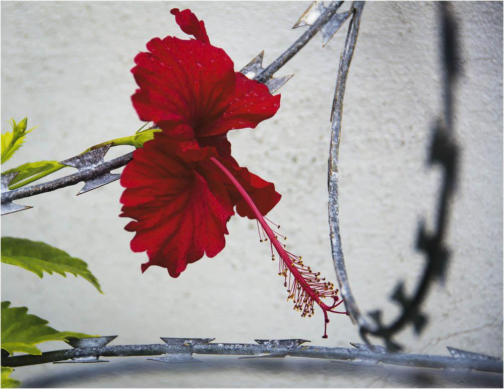 Imprisoned Hibiscus